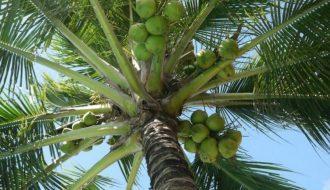 Dừa tươi Bến Tre một trong những loại quả được ưa chuộng vào mùa hè giúp thanh lọc cơ thể
